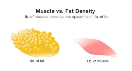 脂肪と筋肉の違い